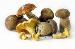 Buyer from Spain is looking for WILD MUSHROOMS