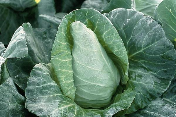 Italian Wholesaler Seeks Pointed Cabbage